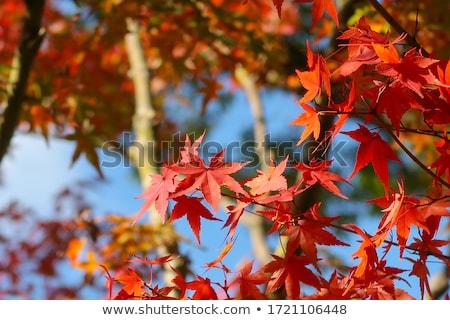 Colorido rojo arce hojas rama naturaleza Foto stock © teerawit