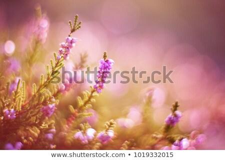 roxo · flor · pôr · do · sol · ocidente · yorkshire · natureza - foto stock © chris2766
