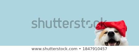 Akita pet Stock photo © simazoran