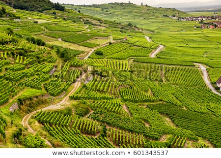grapevine in vineyard, Alsace, France Stock photo © phbcz