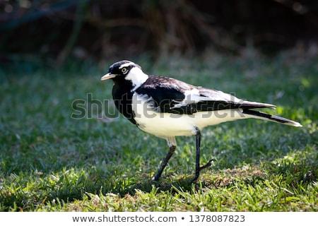 Magpie-lark (Grallina cyanoleuca) Stock photo © dirkr