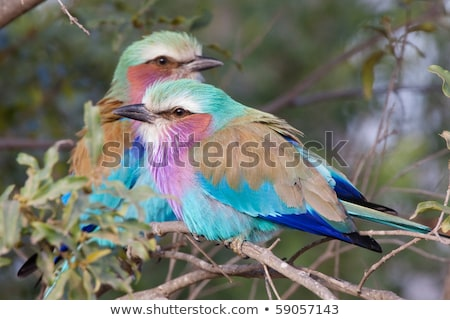 Two Lilac-breasted rollers sitting on a branch. Stock photo © simoneeman