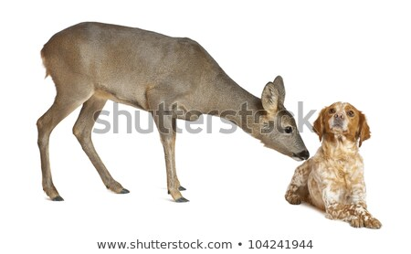 two curious roe deers Stock photo © taviphoto