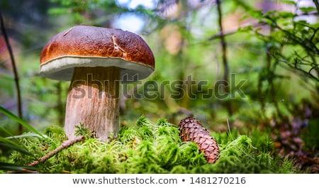 ストックフォト: ビッグ · 白 · キノコ · 森林 · ヤマドリタケ属の食菌 · 成長