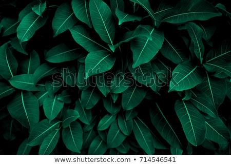 Primo piano foglia verde naturale pattern vene nero Foto d'archivio © artjazz