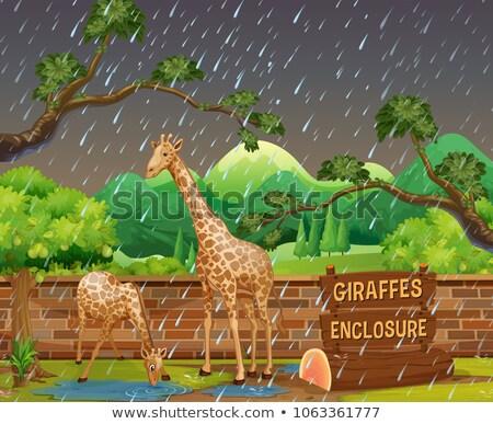 Grădină zoologică scena doua girafele ploaie ilustrare Imagine de stoc © colematt