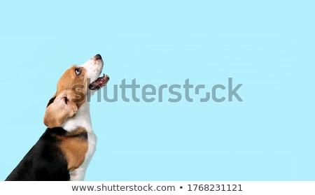 godny · podziwu · beagle · posiedzenia · biały · psa - zdjęcia stock © vauvau