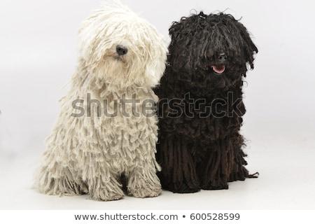 Twee aanbiddelijk vergadering witte hond Stockfoto © vauvau