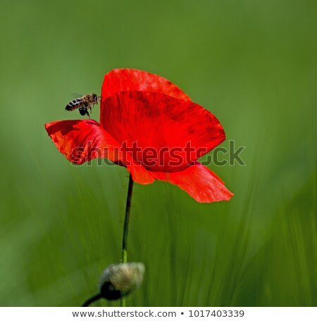 red corn poppy  and a bee Stock photo © yoshiyayo