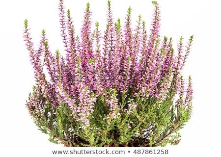purple heather calluna vulgaris flowers on white stock photo © haraldmuc