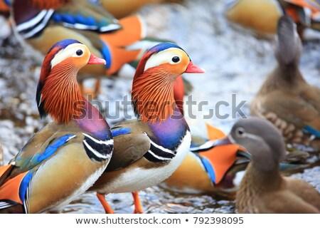 mandarynka · kaczka · kolorowy · wody · zimą - zdjęcia stock © saddako2