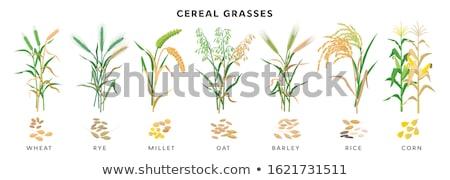 árpa zab fű vegyes gabonapehely növény Stock fotó © smithore
