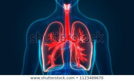 The human body with lungs Stock photo © koqcreative