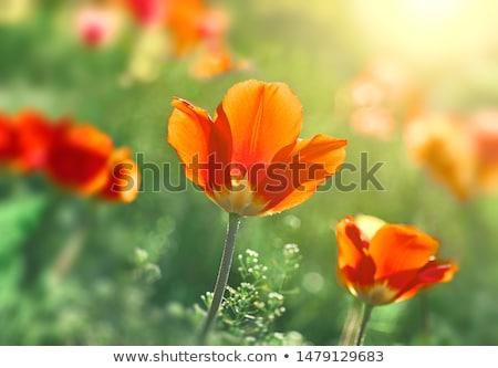 Tulipany świetle parku Londyn czerwony Zdjęcia stock © david010167