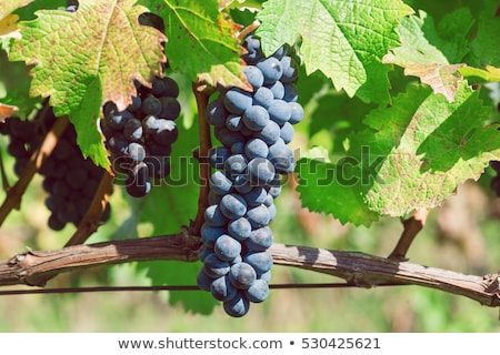 Vineyard on harvesting time Stock photo © ABBPhoto