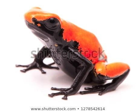 red poison dart frog isolated stock photo © kikkerdirk