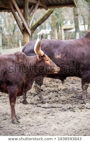 vee · permanente · lopen · modderig · water · veld - stockfoto © lunamarina
