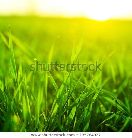 Vibrante hierba verde primer plano primavera sol resumen Foto stock © inxti
