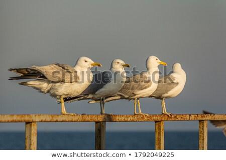 gull  Stock photo © LianeM