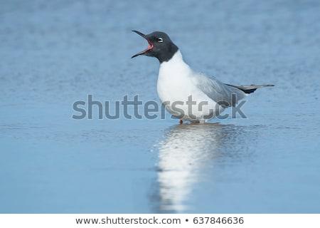飛行 鳥 飛行 屋外 野生動物 鴎 ストックフォト © brm1949