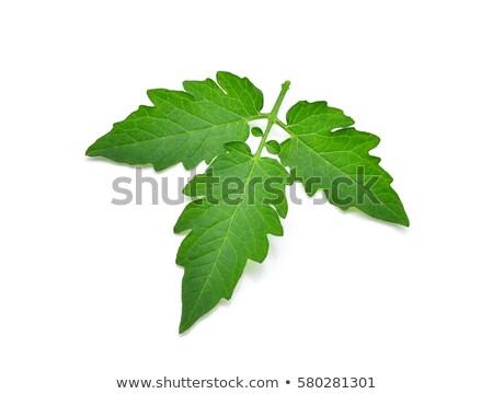 Folha verde tomates isolado branco Foto stock © boroda