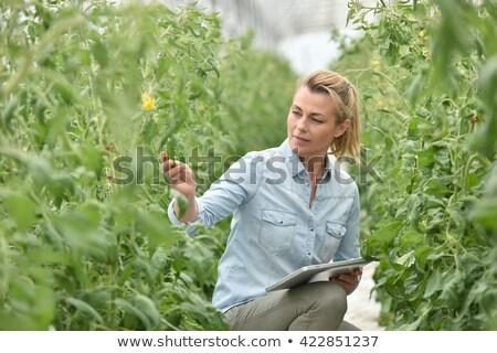 Agricultor invernadero tomate plantas negocios hombres Foto stock © HighwayStarz