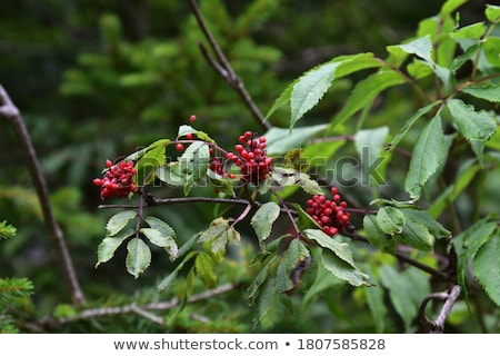 Red berries of undergrowth bushes  Stock photo © AlessandroZocc