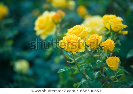 pink and yellow rose  Stock photo © AlessandroZocc
