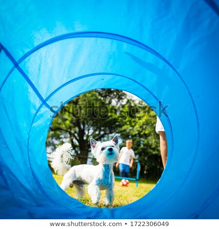 Cute little dog doing agility drill - running slalom Stock photo © lightpoet