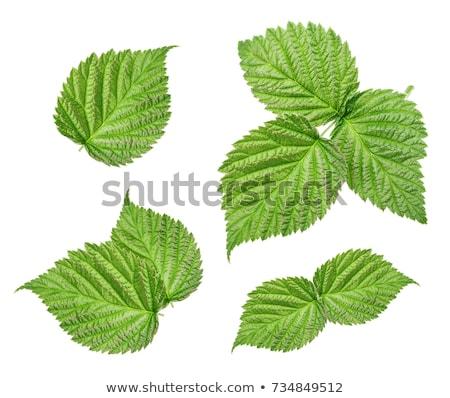 Foto stock: Frescos · frambuesa · hojas · hojas · verdes · aislado · blanco