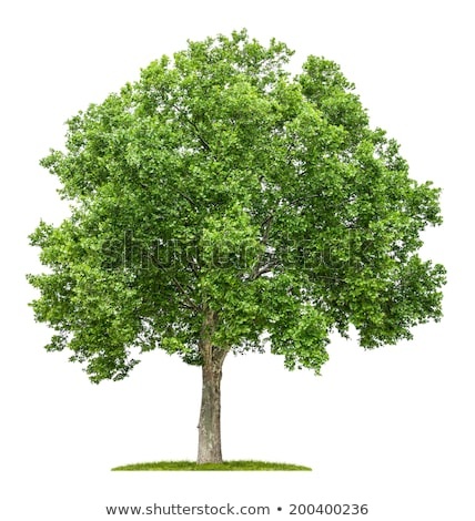 an isolated plane tree on a white background stock photo © zerbor