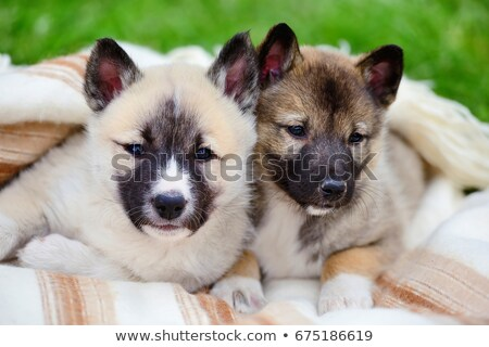 The portrait of West-siberian Laika on a green grass lawn Stock photo © CaptureLight