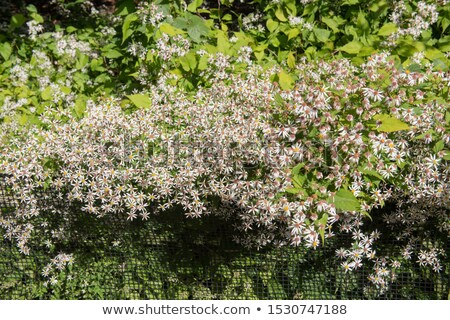 White wood aster (Eurybia divaricata) Stock photo © rbiedermann
