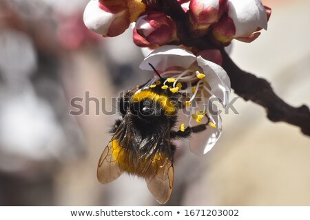 Bumblebee full of pollen Stock photo © manfredxy