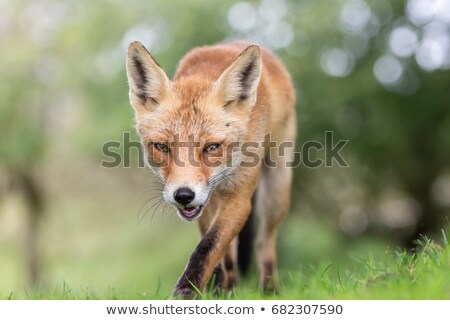 Marche sauvage rouge Fox holland regarder Photo stock © compuinfoto