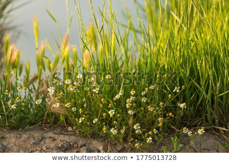 spring grass on Riverside with shallow focus Stock photo © artush