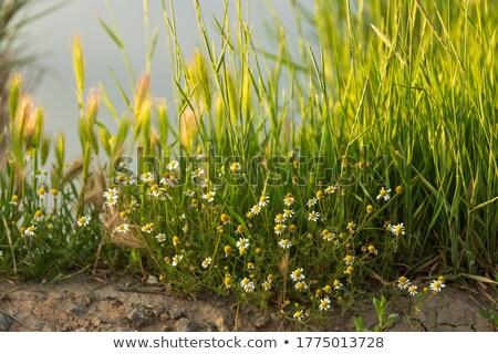 ストックフォト: Spring Grass On Riverside With Shallow Focus