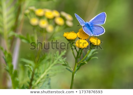 Common Blue butterfly on a yellow flower Stock photo © mady70