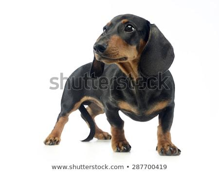 Rövid haj kutyakölyök tacskó fehér boldog fiatal Stock fotó © vauvau