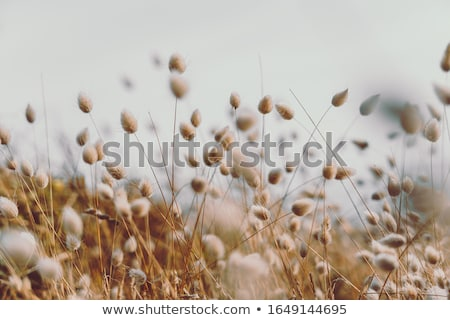 Bunny Tails Grass Stock photo © tilo