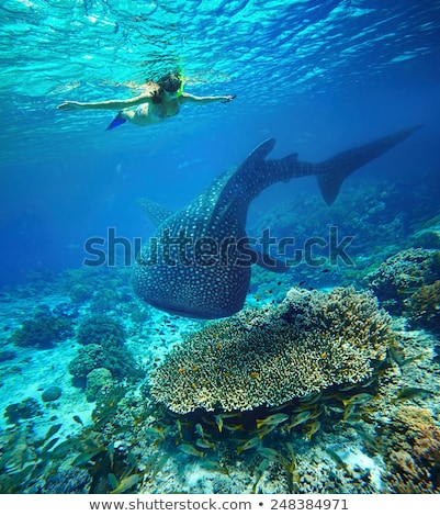 Diver swims with a whale Stock photo © orla