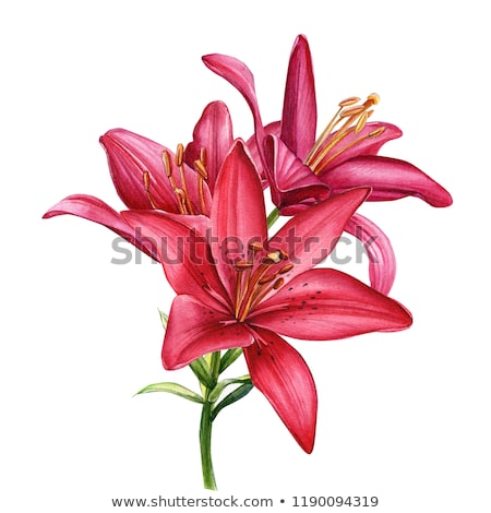 vermelho · lírio · belo · branco · flores - foto stock © karandaev