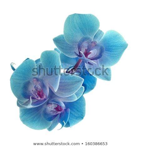 flor · azul · belo · branco · pétalas · manhã - foto stock © Yongkiet