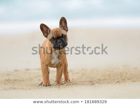 suspicious french bulldog  Stock photo © feedough
