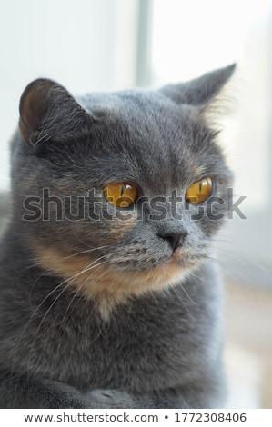 Grigio cat occhi riposo bianco blu Foto d'archivio © feedough