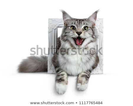 Pretty young adult black silver tabby Maine Coon cat, isolated on white background. Stock photo © CatchyImages