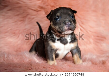 cute American bully puppy sitting in pink background Stock photo © feedough