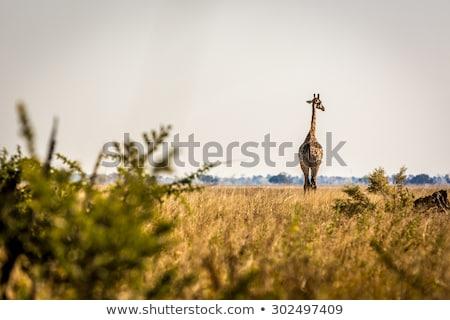 Giraffe Botswana Safari schönen Boden Stock foto © artush