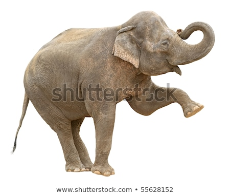 Asian elephant female greeting cutout Stock photo © DragonEye