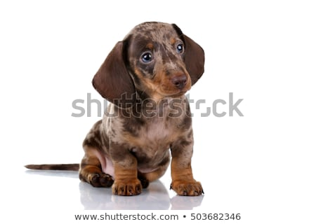 Stockfoto: Cute · teckel · puppy · permanente · witte